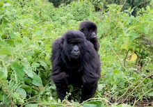 Mountain Gorilla Baby, Mother And Newborn Child, Virunga, Africa