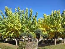 Mulberry Trees In Autumn