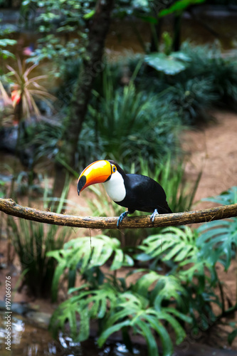 Tuinposter Toekan Toucan on the branch in tropical forest of Brazil