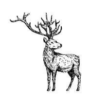 Hand Drawn Deer. Sketch, Vecto...