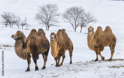 Keuken foto achterwand Kameel bactrian camels walking in a the winter landscape of northern Mongolia