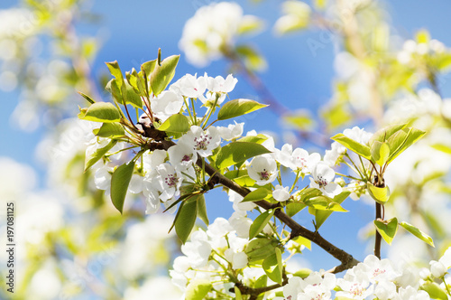 A photo of a branch of white pear blossom. Selective focus.