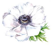 Watercolor Anemone Flower