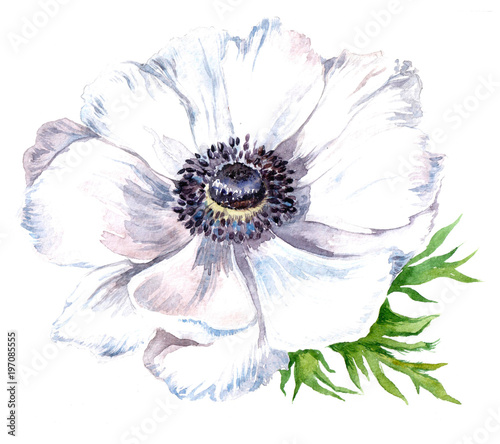 Photo watercolor anemone flower