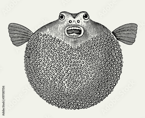 Inflated blowfish in front view (after an antique engraving or illustration from Wallpaper Mural