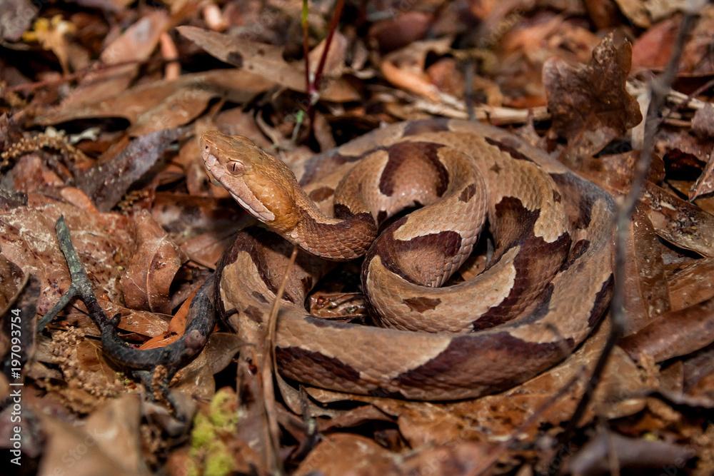 Southern Copperhead Snake