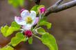 Leinwanddruck Bild - Frueh Jahr Bluete Apfel im Garten