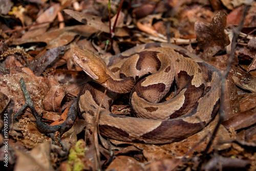 Fototapeta premium Wąż Miedziogłowy Południowy