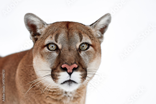 Tuinposter Puma Beautiful Portrait of a Canadian Cougar. mountain lion, puma, panther, Winter scene in the woods. wildlife America
