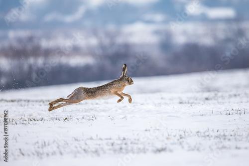 Fototapeta Hare running on snowy field