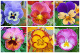 Collage with 6 pansy flowers