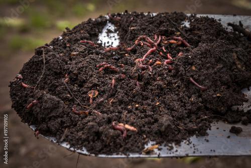 Californian worm doing fertilizer.