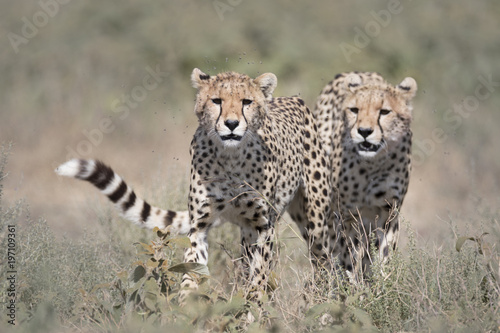 Wild free cheetahs walking