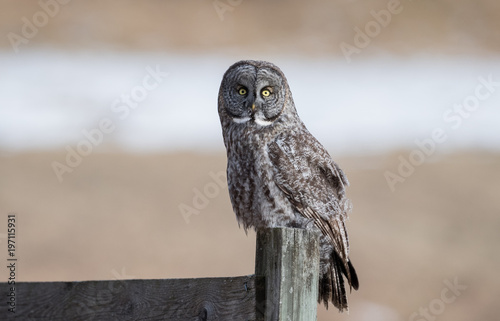 Foto op Canvas Uil Great Gray Owl