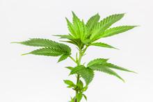 Marijuana Clone Plant Isolated...