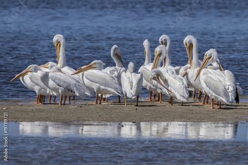 Breeding adult American White Pelicans (Pelicanus erythrorhynchos) Slika na platnu