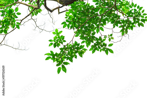 Photo Green tree leaves and branches isolated on white background