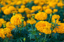 American Marigold Yellow Calendula Blooming In Garden Background, Soverign Tagetes Erecta L.
