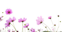 Pink Cosmos Flower Isolated On...