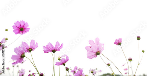 Garden Poster Universe pink cosmos flower isolated on white background