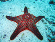 canvas print picture - A colorful red cushion sea star on galapagos islands