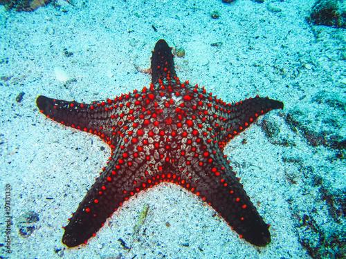 Fototapeta  A colorful red cushion sea star on galapagos islands