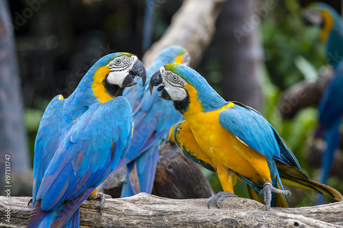 Staande foto Papegaai Blue and Yellow Macaw Parrot , Ara ararauna , also known as the Blue and Gold Macaw in Bangkok, Thailand
