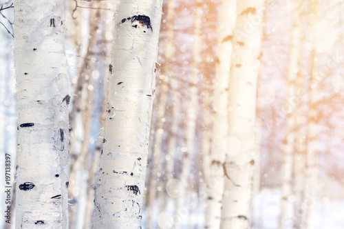 Fotografija Natural landscape with trunks of birch trees in the sunlight.