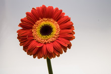 Flower Of Gerber Daisy Collect...