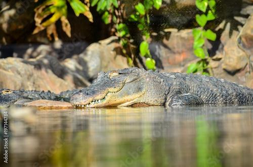 Poster Crocodile Amphibian Prehistoric Crocodile
