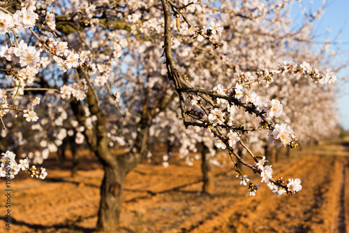 Valokuva  Spring, flowering and nature concept - beautiful almond flowers