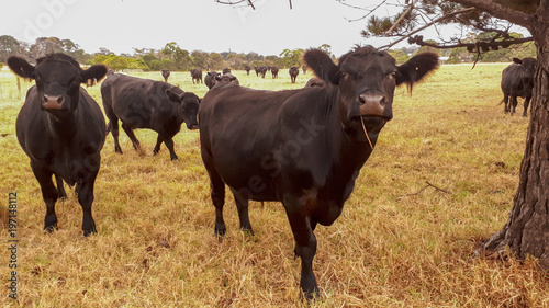Photo A herd of young Angus bulls in a field