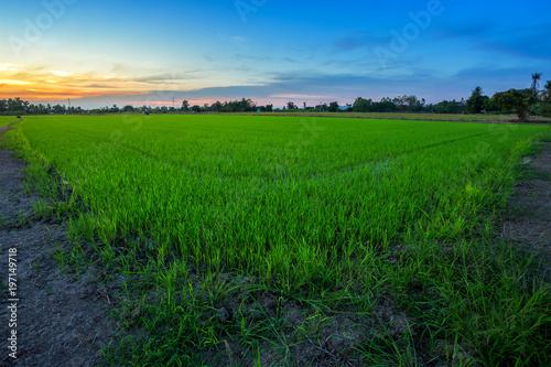 Deurstickers Groene Beautiful green cornfield with sunset sky background.