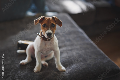 Fotografie, Obraz  A small pretty puppy of breed Jack Russell Terrier sits on an gray sofa and looks at the camera with sad eyes