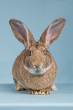 Flemish Giant From The Front