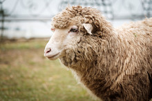 Cute Funny Happy Sheep At Outd...