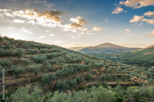 Printed kitchen splashbacks Khaki landscape of olive trees at sunset