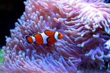 Clown Fish Enjoy In Magnifica ...
