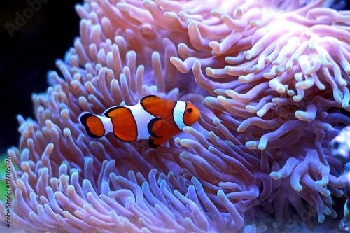 Poster Waterlelies Clown fish enjoy in magnifica anemone