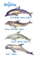 Dolphins Species Set: Short-be...