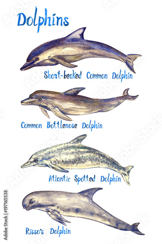 Fotografia Dolphins species set: Short-beaked, Common bottlenose, Atlantic spotted dolphin