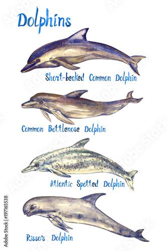Fotomural Dolphins species set: Short-beaked, Common bottlenose, Atlantic spotted dolphin