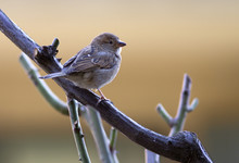 House Sparrow Perched On A Tre...