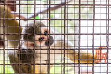 Little Monkey In The Cage With...