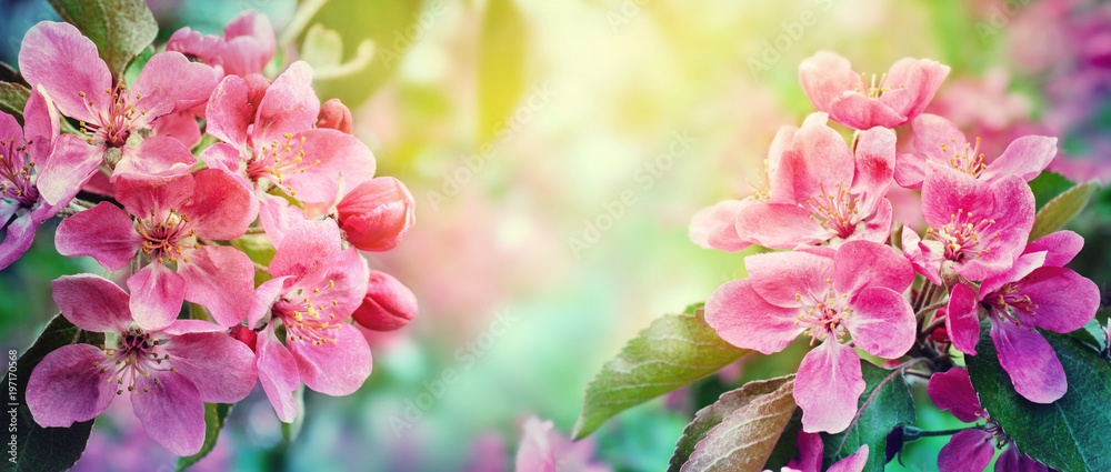 Fototapety, obrazy: Cherry blossom, sakura flowers. Abstract blurred wide background of spring  blossoms tree, selective focus.