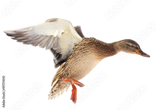 Duck in flight on a white background Poster Mural XXL