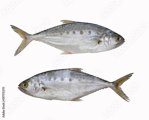 Obraz na plátně Fresh Talang queenfish fish isolated on white background.