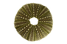 Sea Urchin Test Overview Isolated Over White