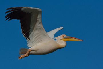 Fototapeta na wymiar White Pelican (Pelecanus onocrotalus)