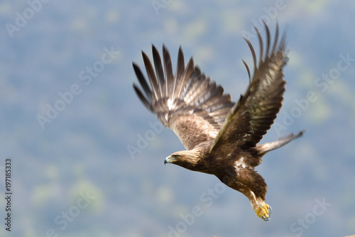 Foto op Plexiglas Eagle Golden Eagle in Flight